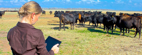 woman studies cows in a field with tablet-based software